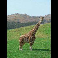 AShortGiraffe
