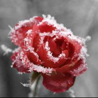 Rosaise