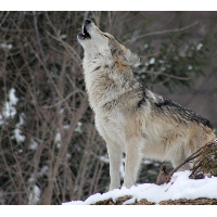 swolfman